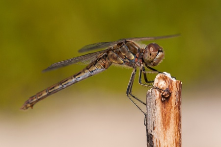 Close up dragonfly  photo
