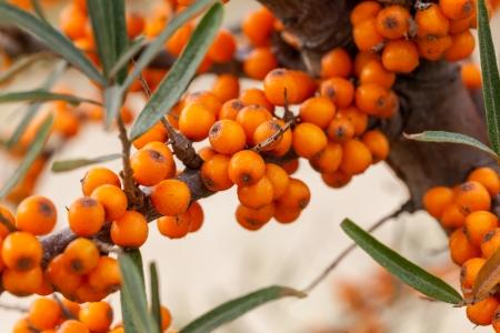 Hippophae rhamnoides - It is a spiny deciduous shrub Banco de Imagens - 22477116