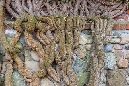 Roots of a tree on the wall of stones and bricks photo
