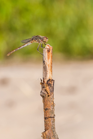 Dragonfly on a branch - macro photography photo