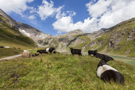Cattle on pasture in the mountains Stock Photo