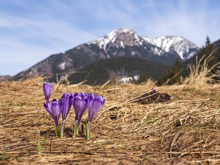 Crocuses on a mountain meadow. In the background a snowy peak.