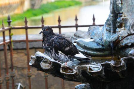 Doove bathes in a fountain Stok Fotoğraf - 137897350