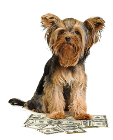 yorky and dollars isolated on white photo