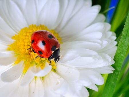 escarabajo: Mariquita sobre los chamomiles  Foto de archivo