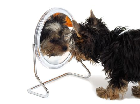 grooming dog: Puppy looks in the mirror  Stock Photo
