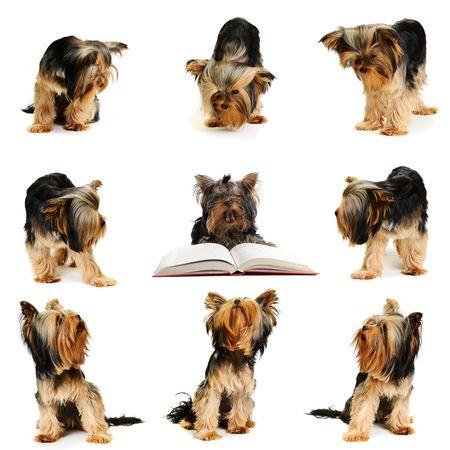 yorky: Perros mirar al centro  Foto de archivo