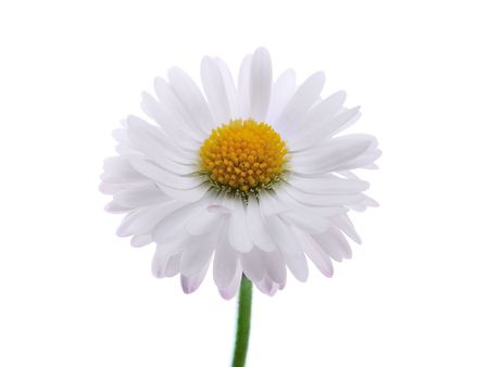 daisy on the white background Stock Photo - 7184081
