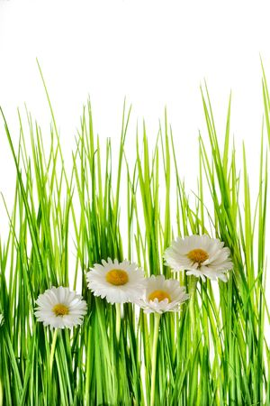 chamomilr in the grass isolated on whiteGreen grass and chamomiles  on the white background Stock Photo - 7184098