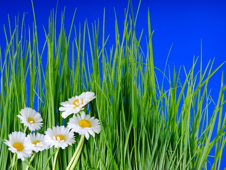 Green grass and chamomiles  on the blue background Stock Photo - 7184097