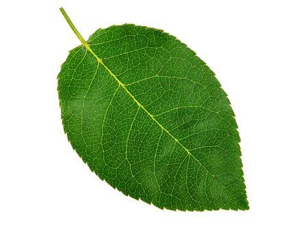 白い背景の上の緑の小さい葉