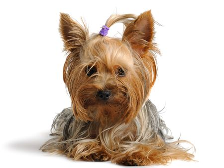 Puppy yorkshire terrier  on the white background Stock Photo - 7593935