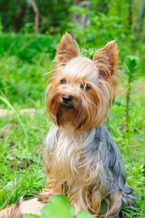 yorky: Cachorro yorkshire terrier en la hierba verde  Foto de archivo