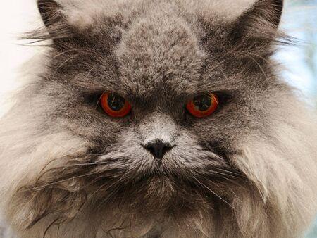 furry animals: portrait serious british cat with orange eye Stock Photo