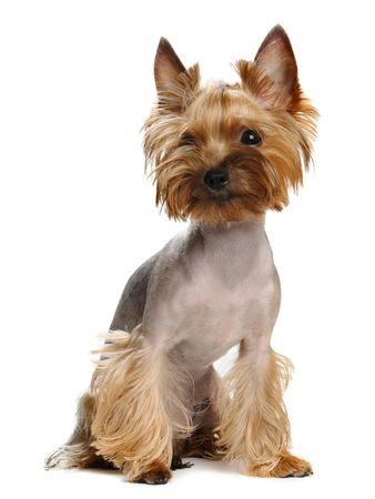 Puppy yorkshire terrier  on the white background Stock Photo - 7594077