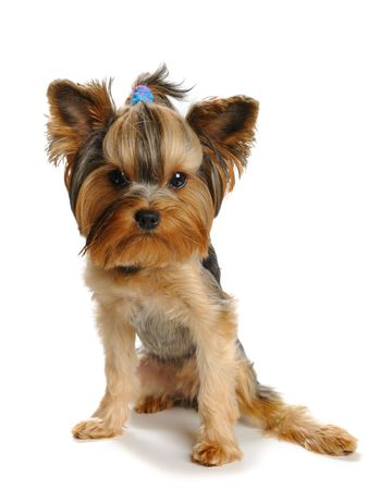 Puppy yorkshire terrier  on the white backgroundPuppy yorkshire terrier  on the white background Stock Photo - 7594043