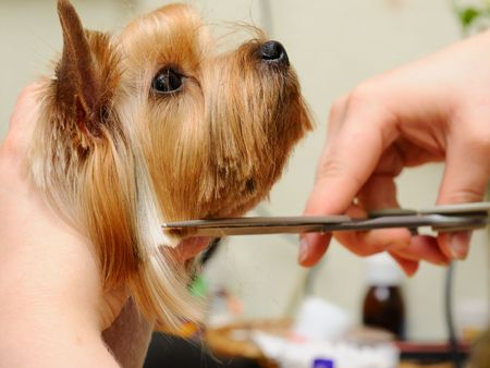 pet grooming: yorkshire terrier  getting his hair cut at the groomer