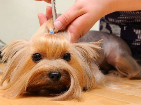 groomer: yorkshire terrier  getting his hair cut at the groomer