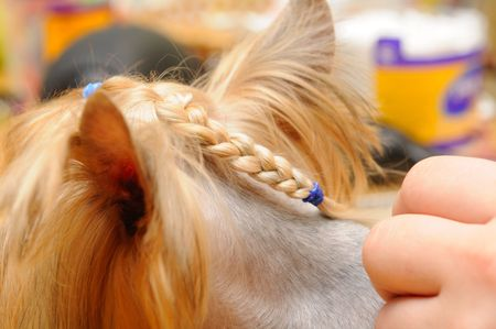 yorkshire terrier  getting his hair cut at the groomer Stock Photo - 7594147