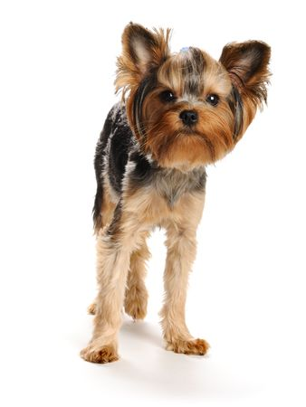 Puppy yorkshire terrier  on the white background Stock Photo - 7593988