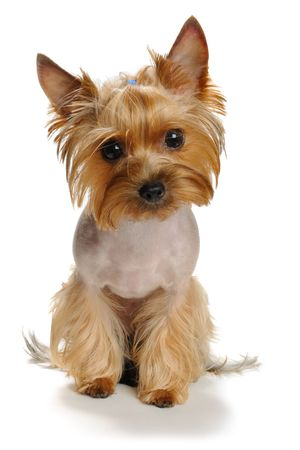 sadness yorkshire terrier  on the white background Stock Photo