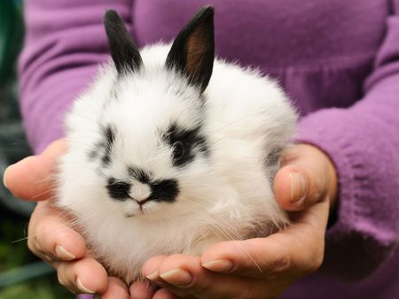 pygmy: pygmy white  rabbit in the human hands