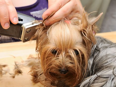 grooming: yorkshire terrier getting his hair cut at the groomer Stock Photo