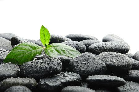 black pebbles:  black zen stones and plant in water