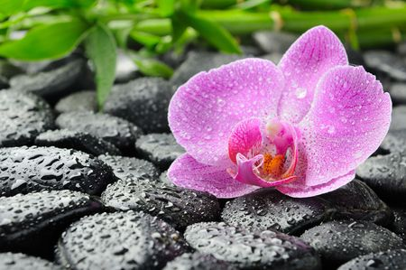 Pink orhid and on the black stones pink orchid on the black zen stones