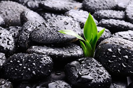 black pebbles: black stones and green plant with drops