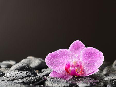 orchidée Rose unique sur les pierres noires