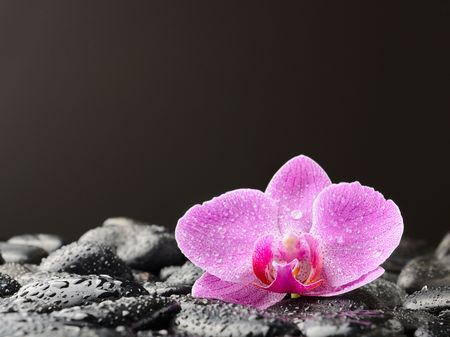 single pink orchid on the black stones Stock Photo