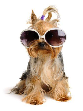 sunglasses: Yorkie en el vidrio  Foto de archivo