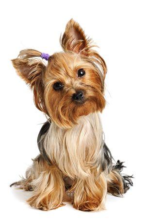 Cachorro yorkshire terrier sobre el fondo blanco