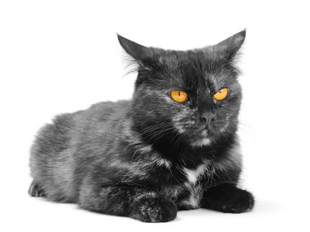 black cat on the white background photo