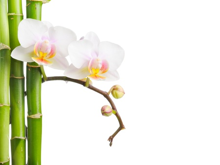 white orchid: white orchid  isolated on white