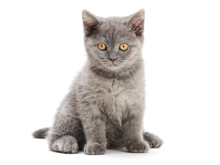 small british  kitten on the white background photo