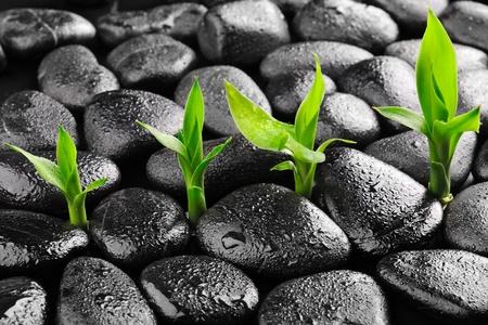 crecimiento planta: piedras de basalto de Zen y bamb� con Roc�o