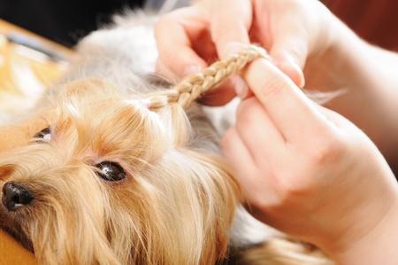 yorky: Yorkshire terrier obtener su pelo cortado en la groomer Foto de archivo