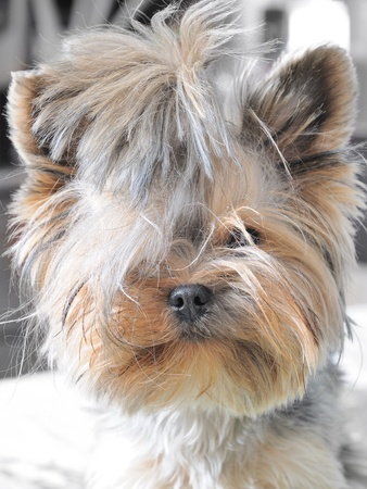 yorky:  beautiful puppy yorkshire terrier portrait