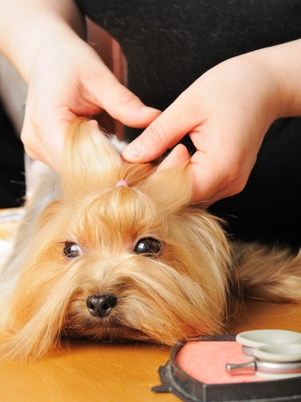 yorkshire terrier getting his hair cut at the groomer photo