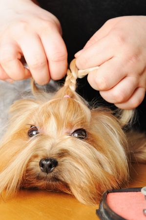 yorkshire terrier getting his hair cut at the groomer Stock Photo - 9408550
