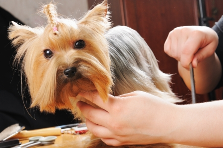 yorkshire terrier getting his hair cut at the groomer Stock Photo - 9408530