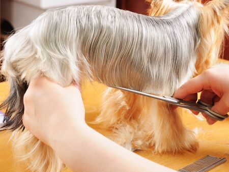 yorkshire terrier getting his hair cut at the groomer Stock Photo - 9408576