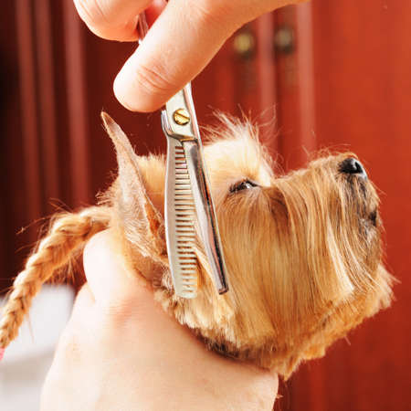 yorkshire terrier getting his hair cut at the groomer Stock Photo - 9408522