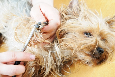 coif: yorkshire terrier getting his hair cut at the groomer Stock Photo