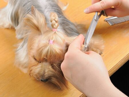 yorkshire terrier getting his hair cut at the groomer Stock Photo - 9408470