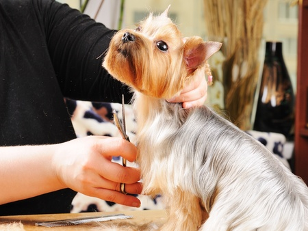 yorkshire terrier getting his hair cut at the groomer Stock Photo - 9408481