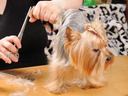 yorky: yorkshire terrier getting his hair cut at the groomer Stock Photo