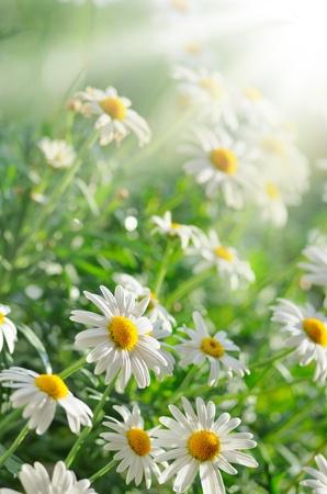 campo de margaritas: Pasto verde y chamomiles en la naturaleza